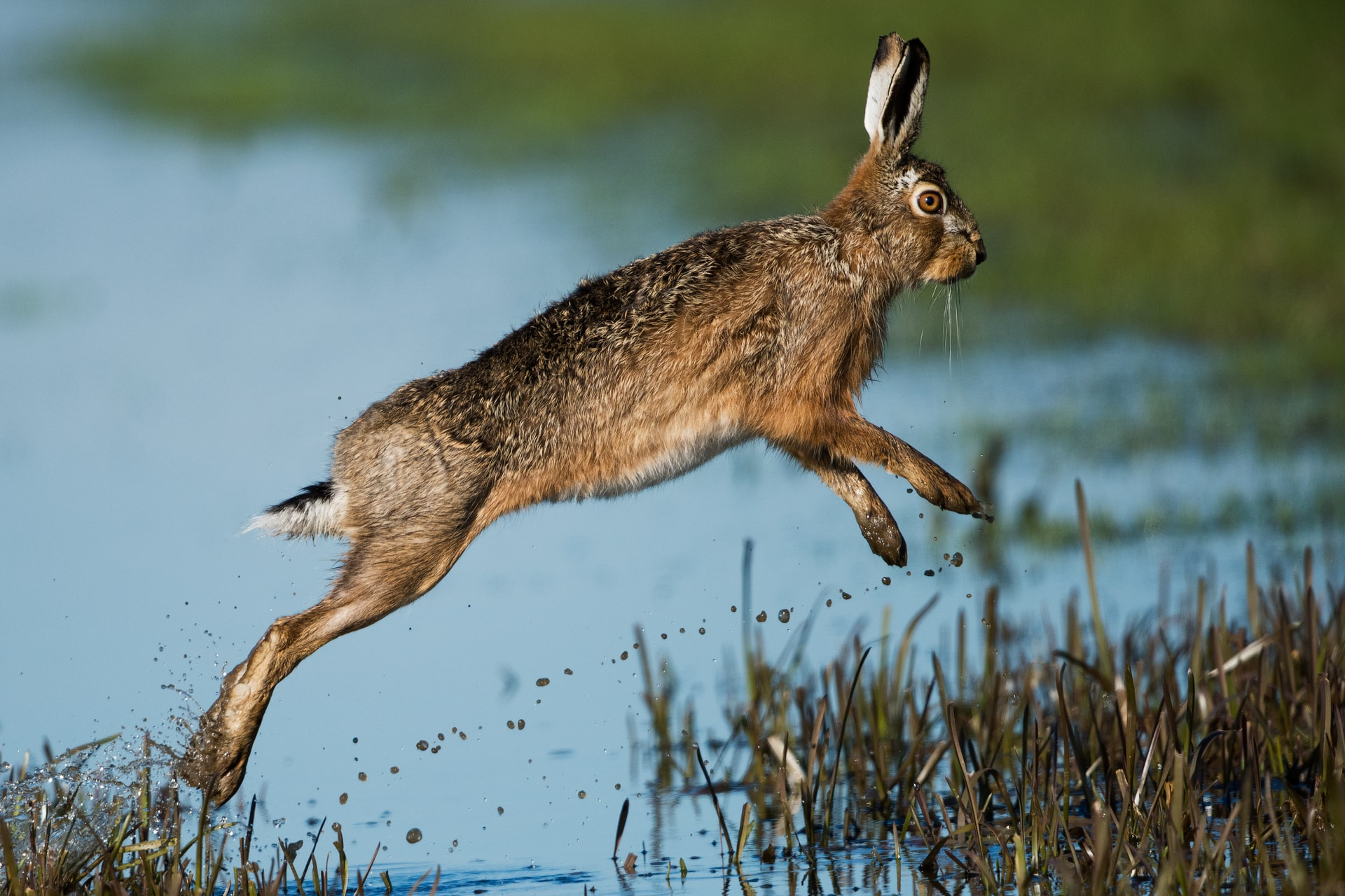 A leaping hare
